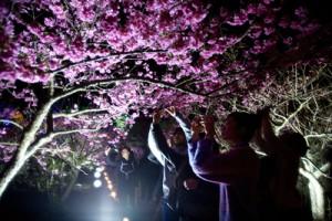 오키나와 나키진 성터 벚꽃 축제